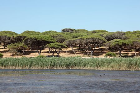 morass: Landscape with a marsh and stone pine forest in Algarve, Portugal