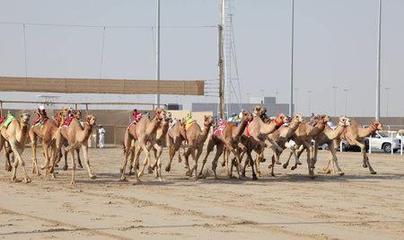 running camel: Racing camels with robot jockeys, Doha Qatar. Photo taken at 7th January 2012