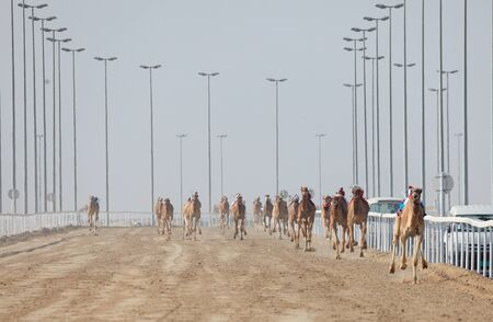 running camel: Racing camels in Doha. Qatar, Middle East
