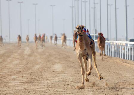 running camel: Racing camels with robot jockeys. Doha, Qatar, Middle East