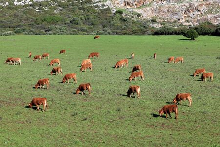 Cows on a pasture in Andalusia, southern Spain Stock Photo - 16460782