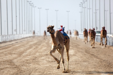 running camel: Camel race in Doha, Qatar, Middle East