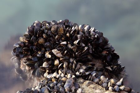 Blue mussels at the water edge Stock Photo