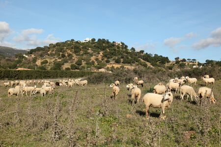 Sheeps on a pasture in Andalusia, Spain photo