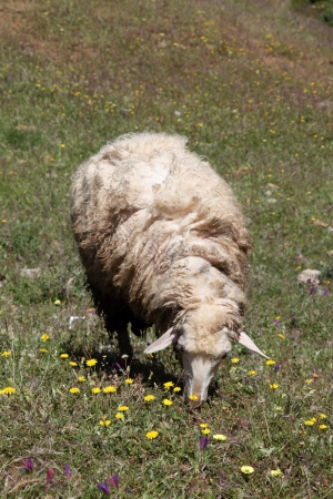 ovine: Sheep on a meadow in Chefchaouen, Morocco Stock Photo