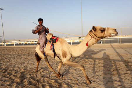 east riding: Racing camel trainer riding his dromedar in Doha, Qatar, Middle East Editorial