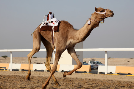 camello: Tradicional carrera de camellos en Doha, Qatar, Oriente Medio Foto de archivo