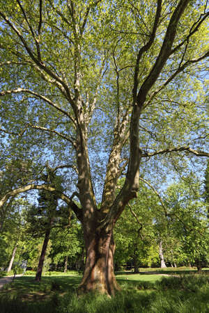 munster: Beautiful tree in Munster, North Rhine-Westphalia, Germany