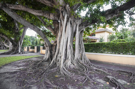 gables: Giant banyan trees in Coral Gables, Florida, USA