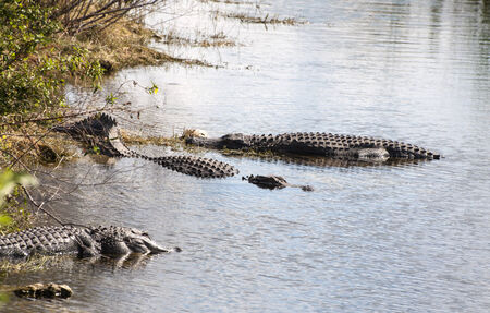alligators: Alligators in Everglades National Park, Florida Stock Photo