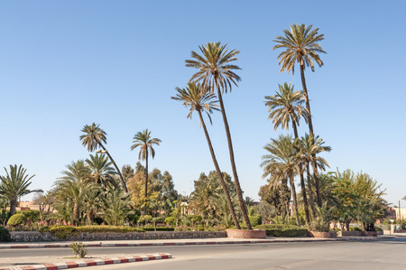 palm: Palm trees in the city of Marrakesh, Morocco