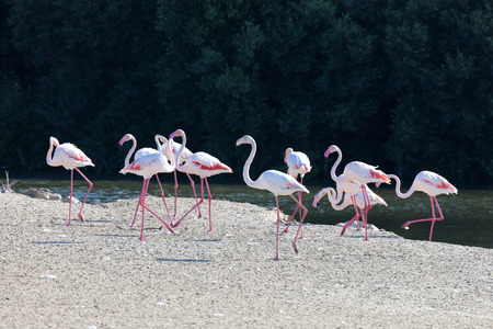 Greater Flamingoes at the Ras al Khor Wildlife Sanctuary in Dubai, United Arab Emirates