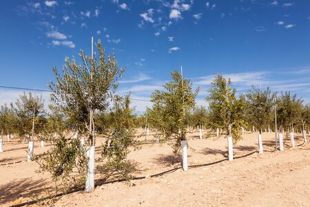 young tree: Young olive trees plantation in Spain