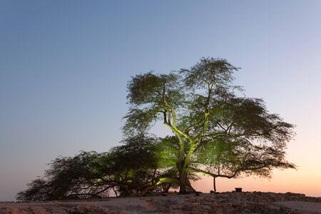 arbol de la vida: La se�al natural de Bahrein - los 400 a�os de edad, �rbol de la vida. Reino de Bahrein, Oriente Medio