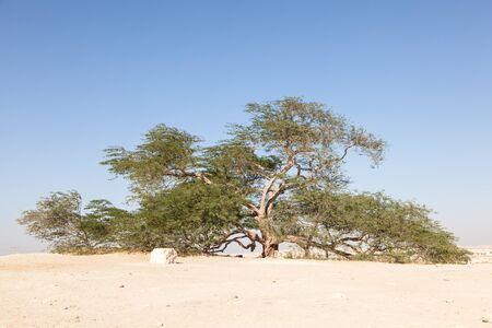 albero della vita: Il punto di riferimento naturale del Bahrain - 400 anni Albero della Vita. Regno del Bahrain, Medio Oriente Archivio Fotografico