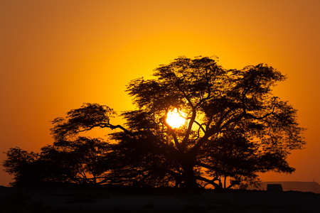 natural landmark: The natural landmark of Bahrain - the 400-year-old Tree of Life at sunset. Kingdom of Bahrain, Middle East