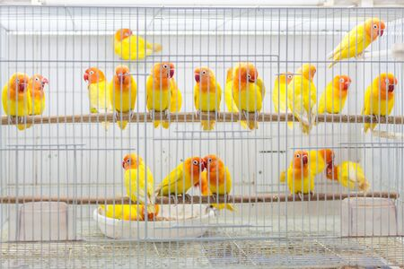 souq: Colorful birds for sale at the pet market section of Souq Waqif, Doha, Qatar, Middle East