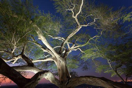 albero della vita: Albero della Vita illuminata di notte. Regno del Bahrain, Medio Oriente