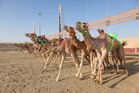 running camel: DOHA, QATAR - NOV 21: Start of a camel race the Al Shahaniya Racetrack in Qatar. November 21, 2015 in Doha, Qatar, Middle East