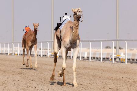 racetrack: DOHA, QATAR - NOV 21: Racing camels at the Al Shahaniya Racetrack. November 21, 2015 in Doha, Qatar, Middle East