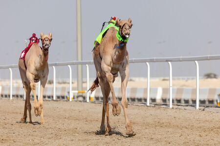 racetrack: Racing camels at the Al Shahaniya Racetrack. Doha, Qatar, Middle East