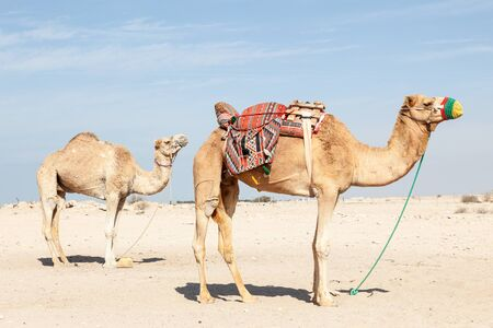 saddle camel: Camels in the desert of Qatar, Middle East Stock Photo