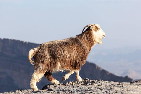 cabra: Cabra en el borde de una montaña en Omán Foto de archivo