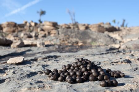 droppings: Close up black color goat excrement droppings on a rock. Oman, Middle East Stock Photo