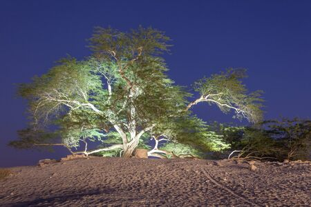 natural landmark: Natural landmark of Bahrain - the 400 years old Tree of Life. Kingdom of Bahrain, Middle East