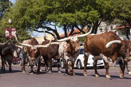 longhorn cattle: FORT WORTH, TX, USA - APR 6: Longhorn cattle in the Fort Worth Stockyards historic district. April 6, 2016 in Fort Worth, Texas, USA Editorial