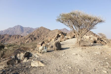 united arab emirate: Lonely tree on top of a mountain in the Emirate of Fujairah, United Arab Emirates