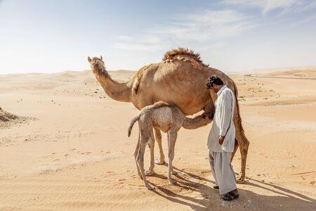 united arab emirate: LIWA, UAE - DEC 4, 2016: Camel with her calf and a farm worker in Liwa Oasis. Emirate of Abu Dhabi, United Arab Emirates
