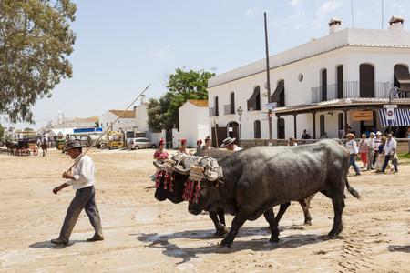 camino: El Rocio, Spain - June 2, 2017: Pilgrim with two bulls in the street of El Rocio during the pilgrimage Romeria 2017. Province of Huelva, Andalusia, Spain