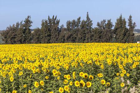 Beautiful sunflower field near town Almonte. Province of Huelva, Andalusia, Spain