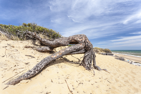 Wood on the Playa del Asperillo beach in Matalascanas. Donana Natural Park, Huelva province, Costa de la Luz, Andalusia, Spain