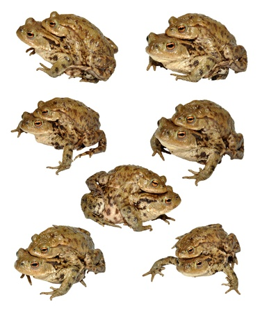 A collection of photographs of common toads mating, isolated on a white background photo