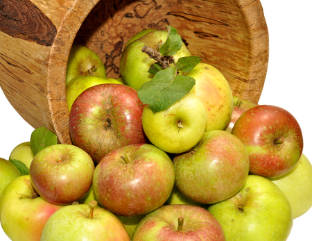 freshly picked: Freshly picked crop of autumn apples with a large rustic wooden cup, isolated on a white background