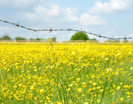 Barbed wire fence with a buttercup filled meadow in the background photo
