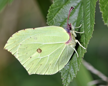 gonepteryx rhamni: A brimstone butterfly, gonepteryx rhamni, resting on a leaf in summer sunshine Stock Photo