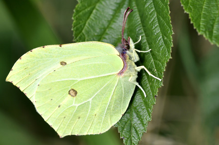 A brimstone butterfly, gonepteryx rhamni, resting on a leaf in summer sunshine photo
