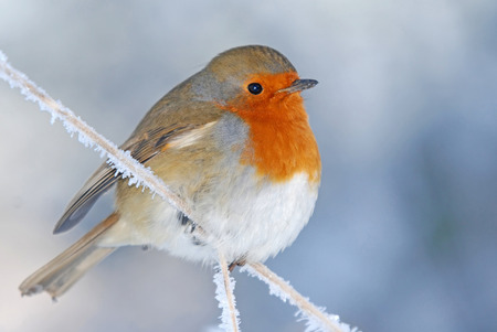 A robin bird fluffed up to keep warm, perched on a frozen branch in winter photo