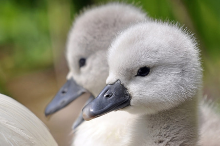 Newly hatched wild fluffy mute swan cygnet chicks  photo