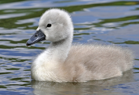 Newly hatched wild fluffy mute swan cygnet chick in water