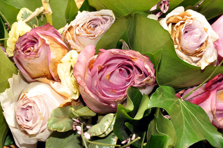 cuttings: A bouquet arrangement of pink and white dying rose cuttings  Stock Photo