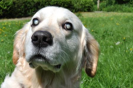 Old blind Labrador dog with cloudy eyes caused by cataracts in both eyes