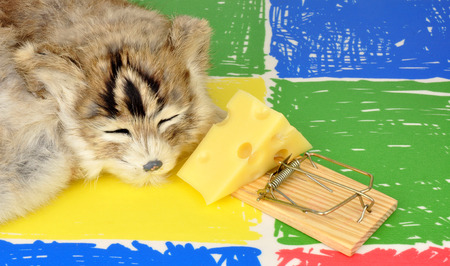 baited: Cat sleeping next to a mouse trap baited with a wedge of cheese on a colourful floor background