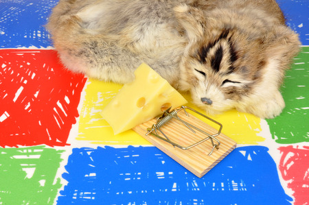 vermin: Cat sleeping next to a mouse trap baited with a wedge of cheese on a colourful floor background