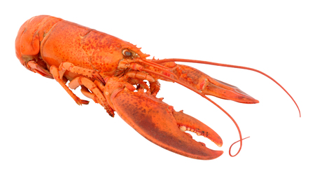 freshly cooked: Freshly cooked whole pink lobster isolated on a white background