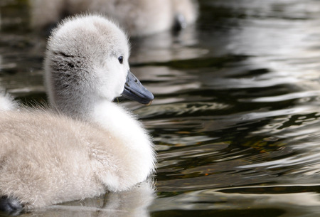 cygnet: Fluffy baby mute swan cygnet swimming in water