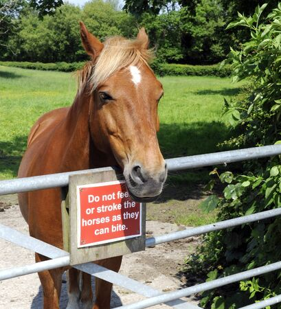 cautionary: Horse standing at a field gate with warning sign not to stroke of feed because horses can bite Stock Photo